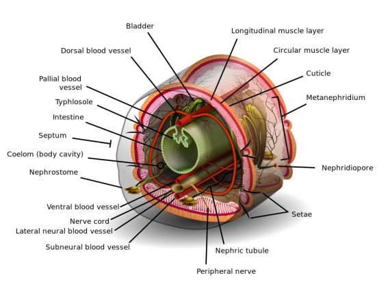 worm-cross-section