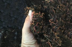 home-compost-worms2